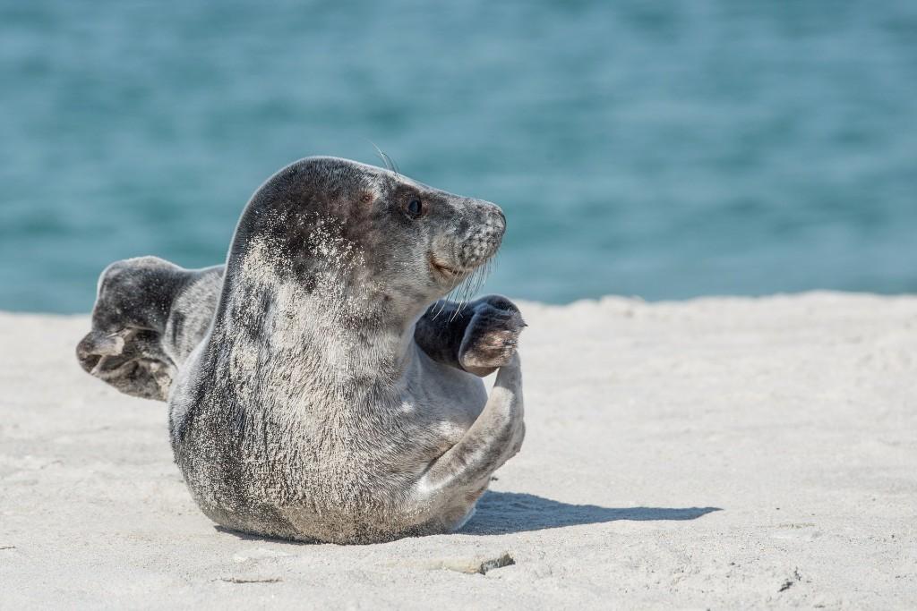 de kooiplaats strand zeehond