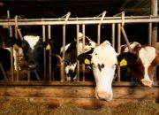 de kooiplaats koeien boerderijcamping